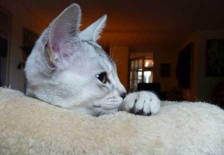 Abessijn Cattery Erendil Nestje Kittens - Zwart-zilver