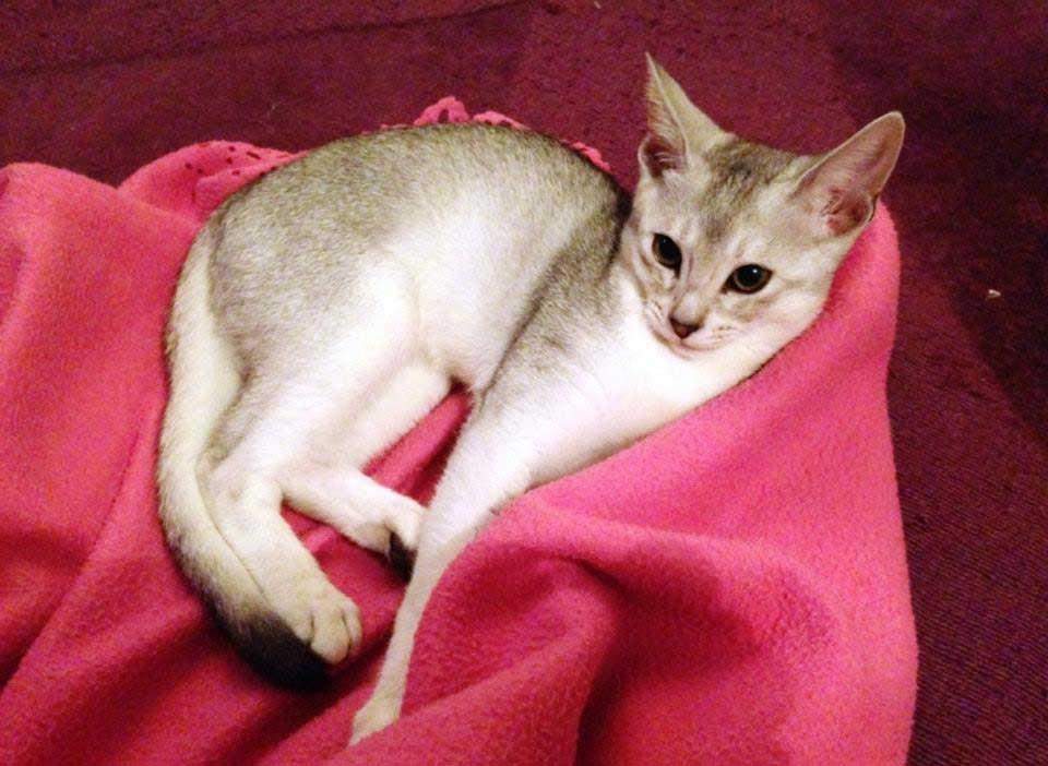 Abessijn Cattery Erendil Nestje Kittens - Bodor doet zijn naam als sneeuwman eer aan