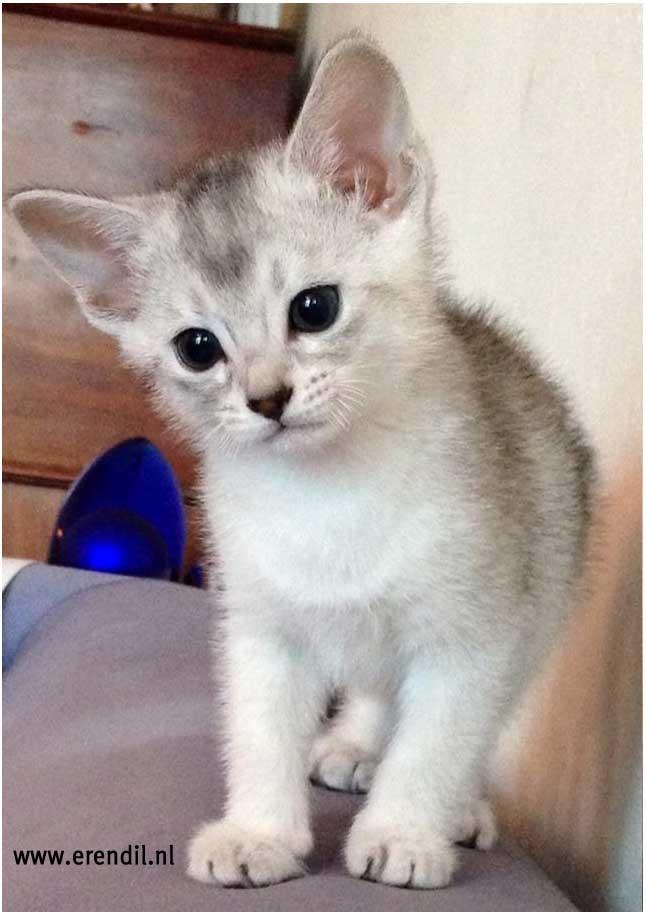 Abessijn Cattery Erendil Nestje Kittens - kittens Bastet