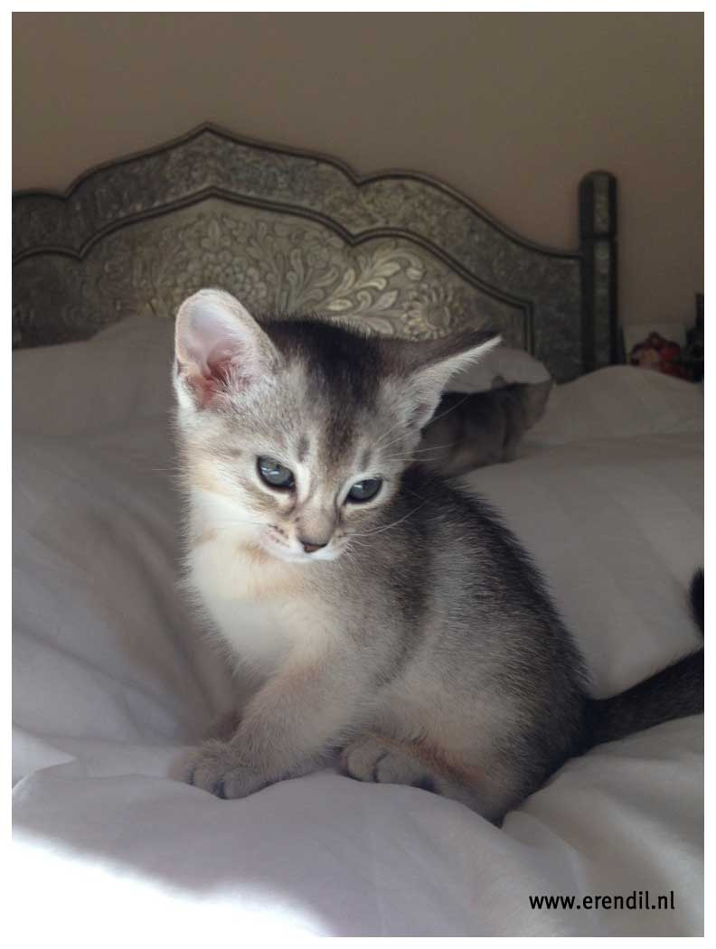 Abessijn Cattery Erendil Nestje Kittens - Beauty Bastet