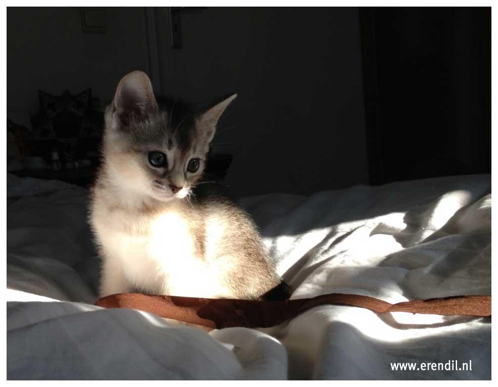 Abessijn Cattery Erendil Nestje Kittens - Bastet