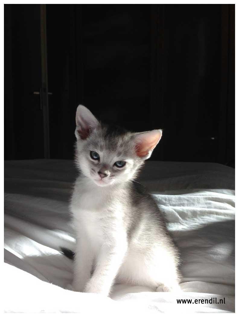 Abessijn Cattery Erendil Nestje Kittens - Mooie Bodor