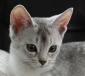 Abessijn Cattery Erendil Nestje Kittens