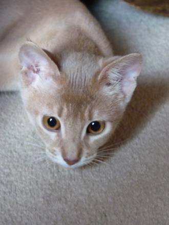 Abessijn Cattery Erendil Nestje Kittens - Nimue Josephine