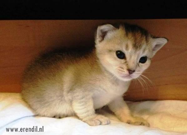 Abessijn Cattery Erendil Nestje Kittens - Een nieuw nestje februari 2014