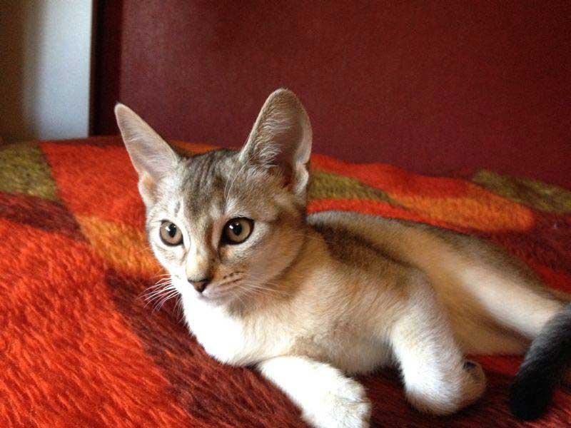 Abessijn Cattery Erendil Nestje Kittens - Bastet in haar nieuwe huis