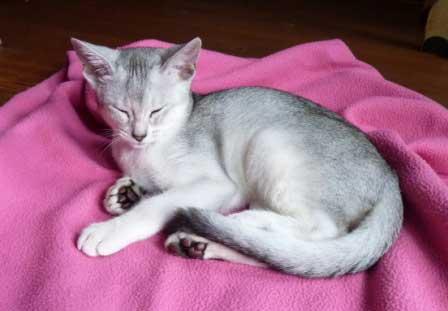 Abessijn Cattery Erendil Nestje Kittens - Black-silver