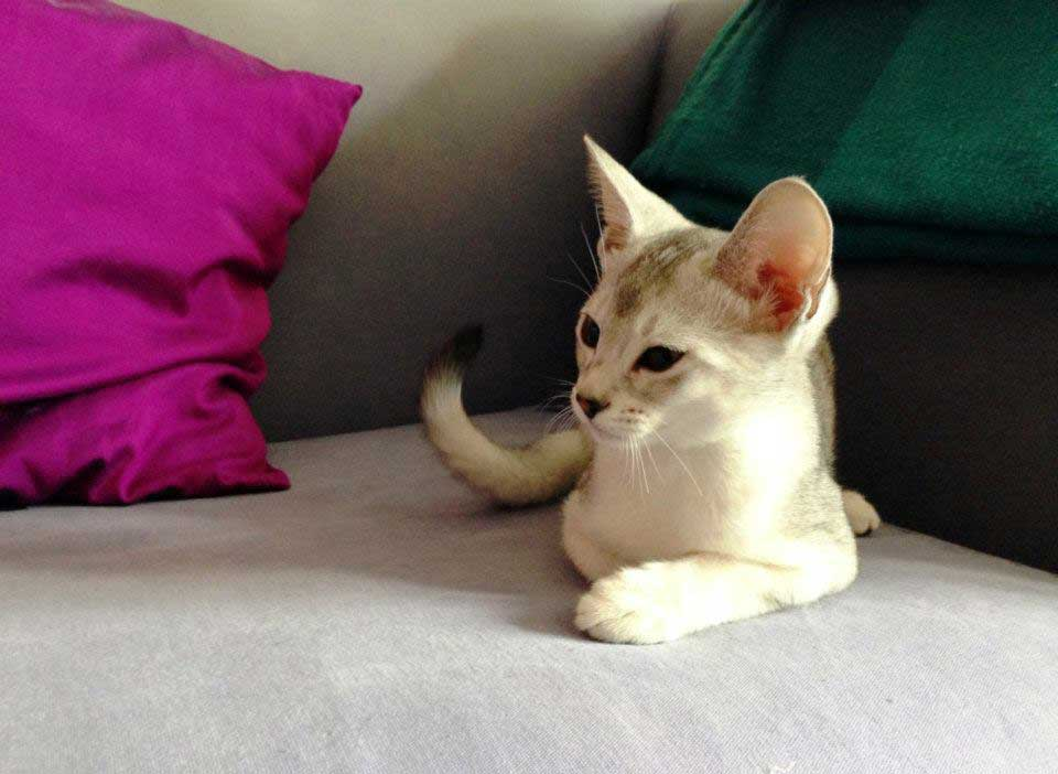 Abessijn Cattery Erendil Nestje Kittens  - Bodor kijkt uit naar mama Nut