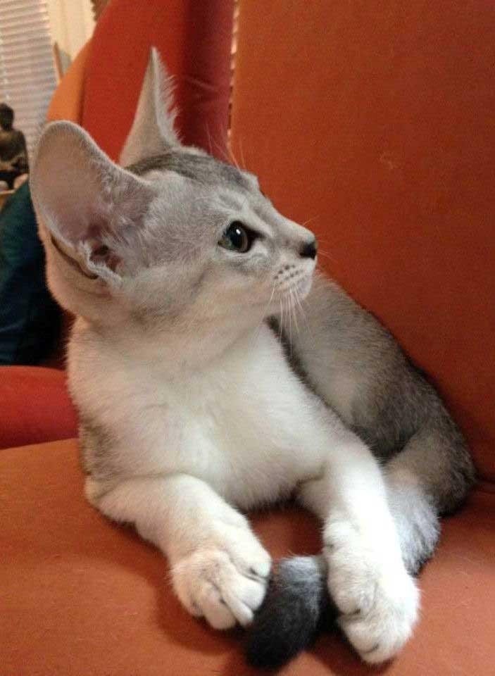 Abessijn Cattery Erendil Nestje Kittens -  Bodor pixie foto
