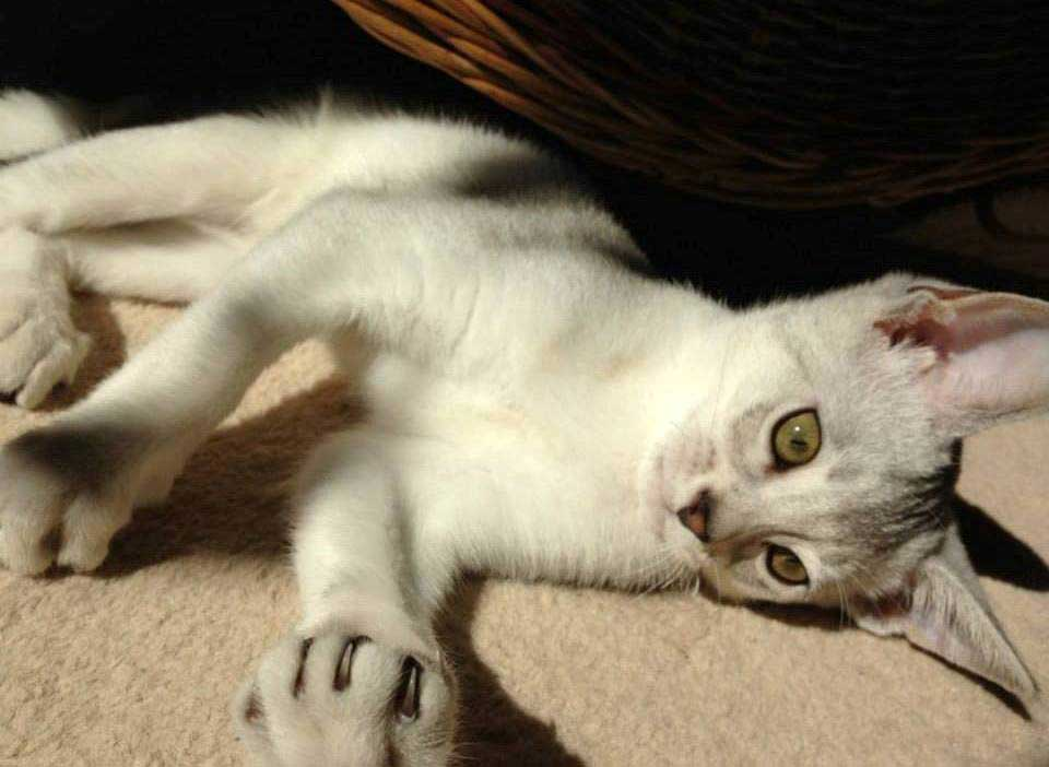 Abessijn Cattery Erendil Nestje Kittens - Mooie Bodor, de vriendelijke sneeuwman