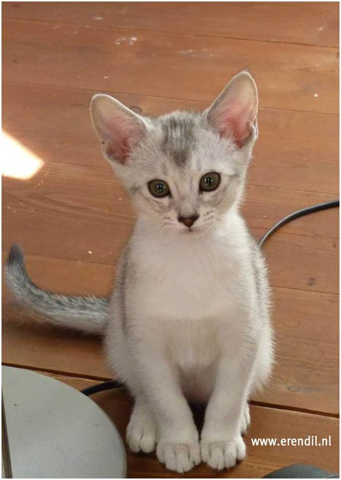 Abessijn Cattery Erendil Nestje Kittens - Brutaal aapje